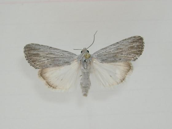 Genus/species? - Catabena lineolata