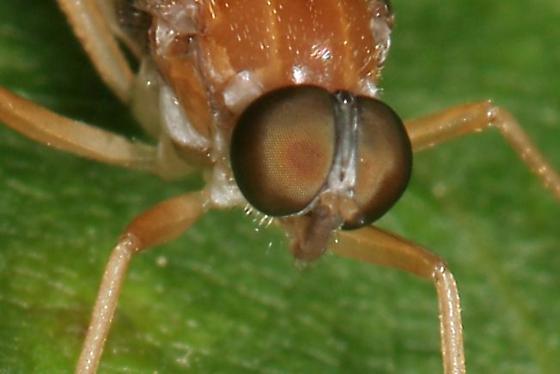 Unknown Fly - Dialysis elongata - female