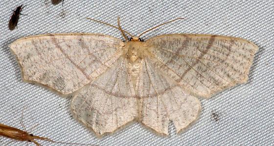 6884, Besma endropiaria, Straw Besma - Besma endropiaria - female