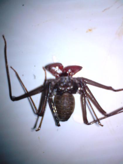 Cockroach spider? - Acanthophrynus coronatus