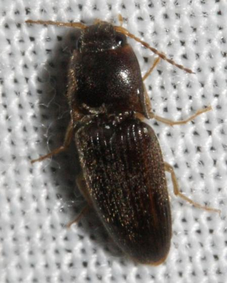 Elateridae - Conoderus falli