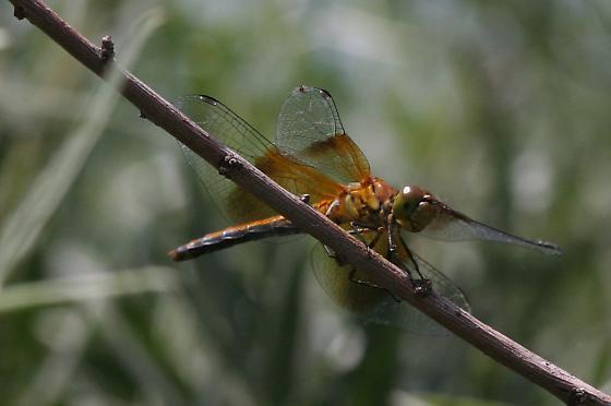 Bronze Skimmer - Sympetrum semicinctum