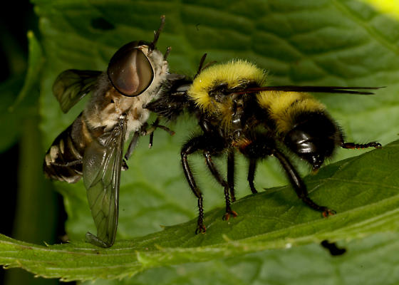 Laphria with huge prey - Laphria thoracica