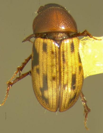 Aphodius rugatus Schmidt - Aphodius rugatus