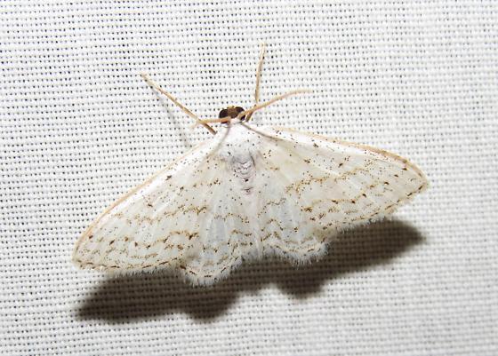 small white moth - Idaea tacturata