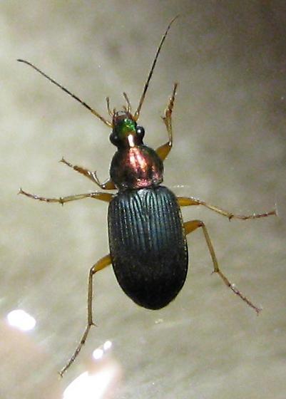 Chlaenius from Wisconsin - Chlaenius tricolor