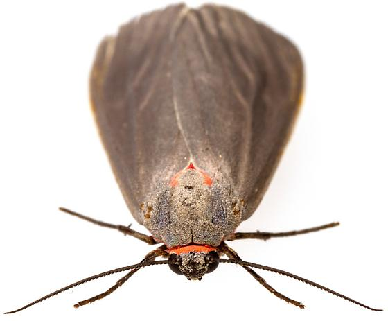 Female, Pygarctia murina? - Pygarctia murina