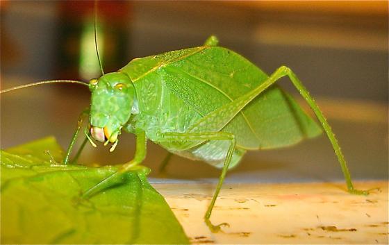 Katydid - angle-wing? - Microcentrum retinerve - female