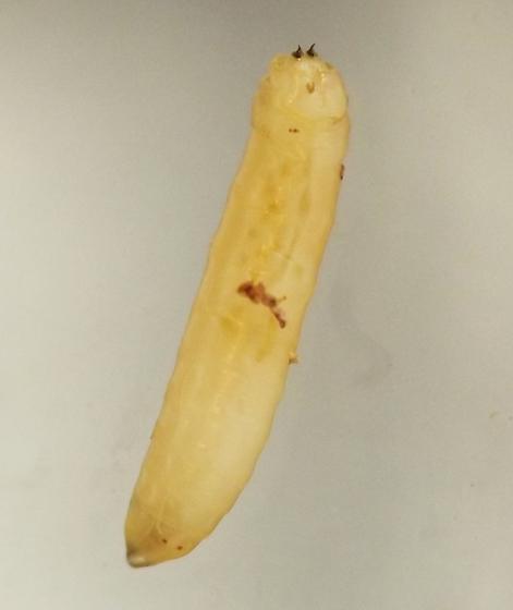 Stem borer, Arnoglossum - Melanagromyza