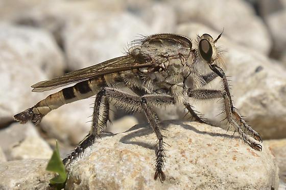 Giant Robber Fly? - Triorla interrupta - male