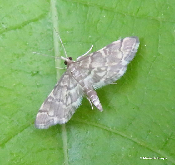 Yellow-spotted webworm moth - Anageshna primordialis