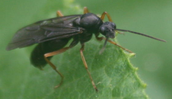 Wasp? - Formica subsericea