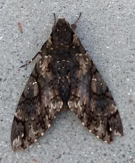 Very large moth on sidewalk - Cocytius antaeus