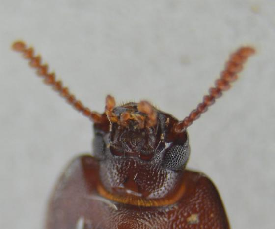 Beetle - Species Perhaps? - Uloma imberbis