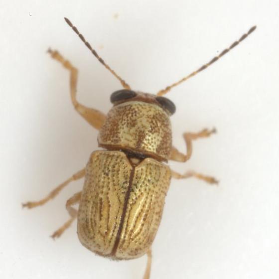 Pachybrachis pusillus Bowditch - Pachybrachis pusillus