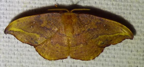 Oreta rosea