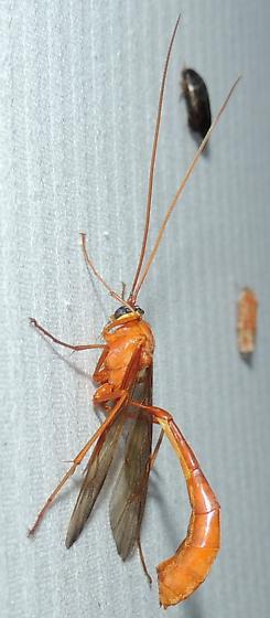 Ichneumon Wasp - Enicospilus - female