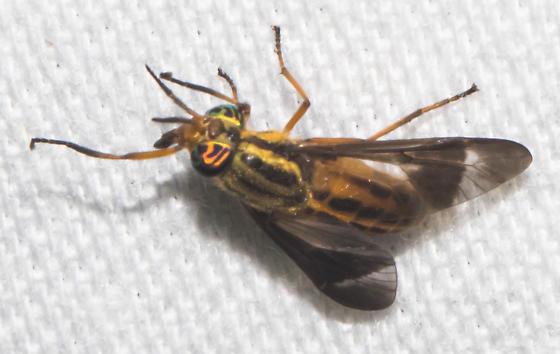 2018-08-07 2nd deer fly - Chrysops pikei