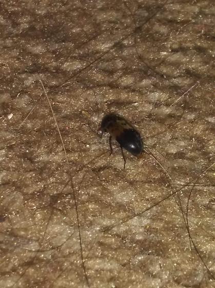 Small beetle ID help please