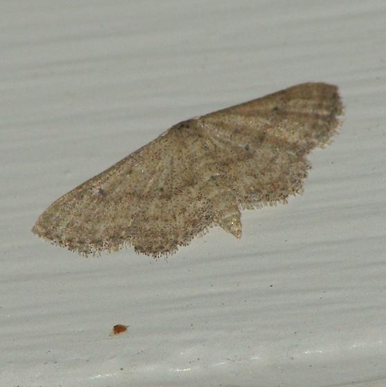 7169 Soft-lined Wave Moth - Scopula inductata