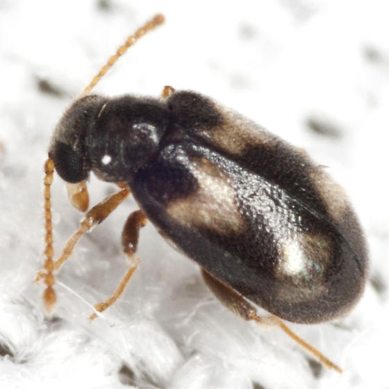 Ant-like Leaf Beetle - Pseudariotus notatus