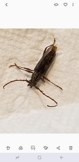 Beetle Found In House - Elaphidion mucronatum