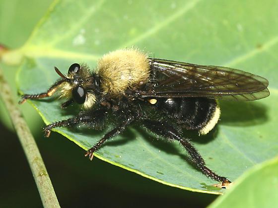 robber fly - Laphria sackeni