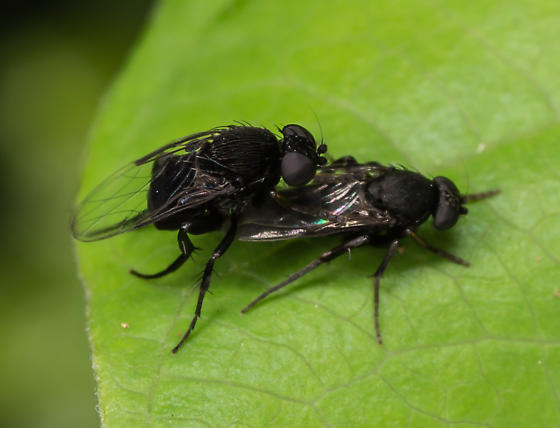 Pitch Black Flies - Phora - male - female