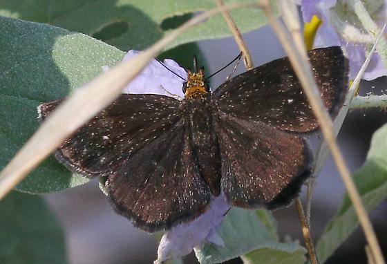 butterfly, duskywing sp. - Staphylus ceos