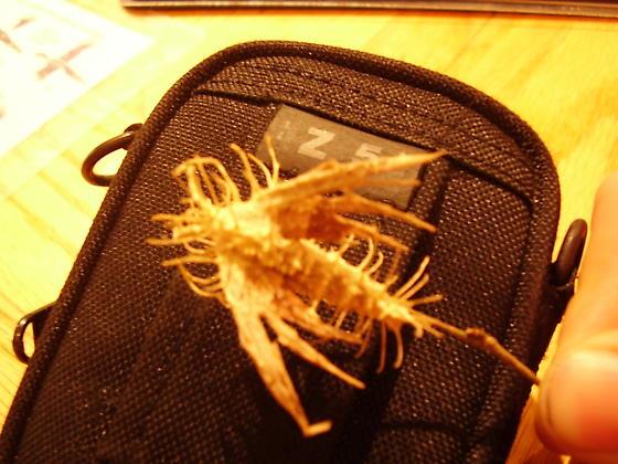 Spiny Moth?