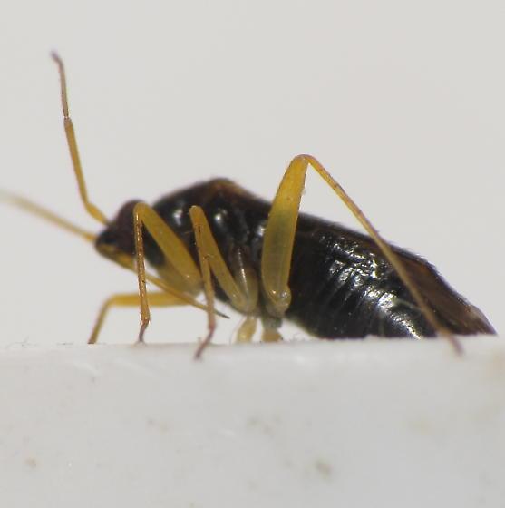 Plagiognathus modestus? - Plagiognathus modestus