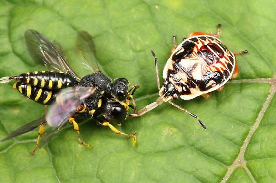 Wasps - Lestica - male - female