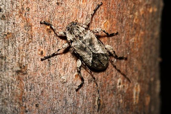 Sternidius? - Styloleptus biustus