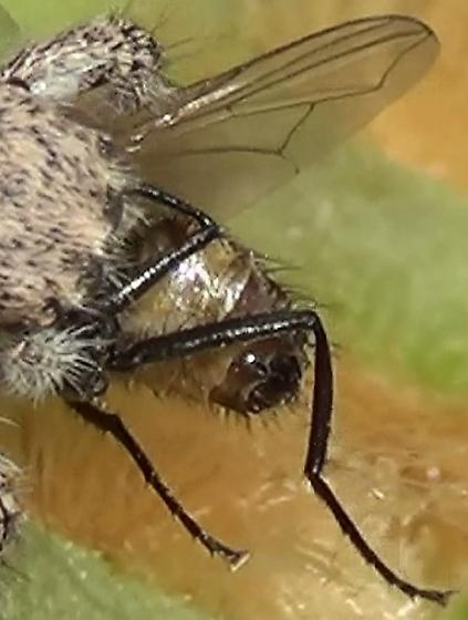 Jumping Spider Meal-time - Unknown Fly - Habronattus hirsutus - female
