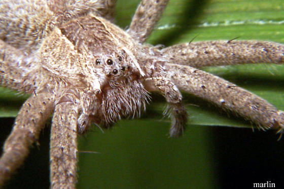 Nursery Web Spider - Pisaurina mira - female
