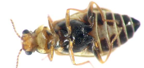locust flower beetle - Attalus scincetus
