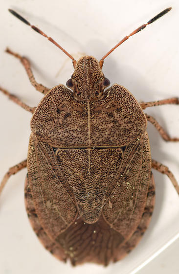 brown stink bug - Menecles insertus