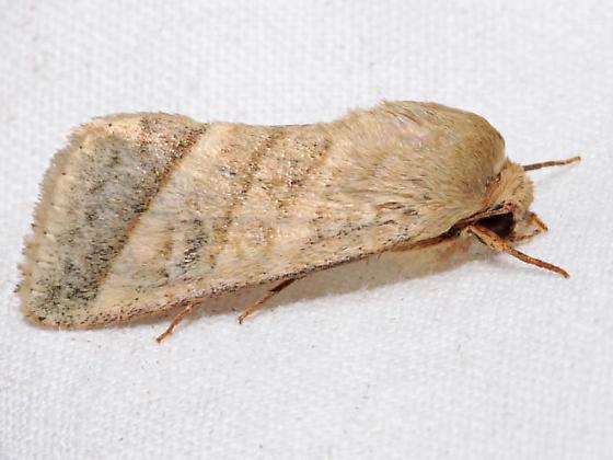 Heliothis virescens  - Chloridea virescens