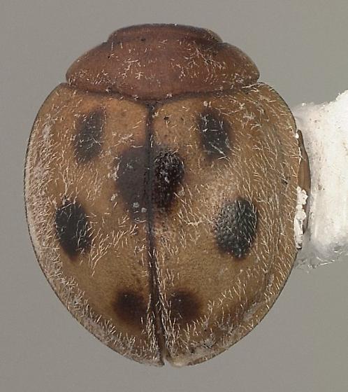 Pharoscymnus flexibilis (Mulsant) - Pharoscymnus flexibilis