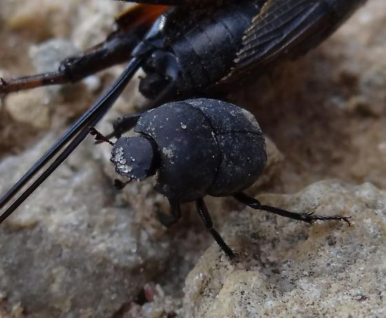 Dung Beetle Carrying a Cricket - Melanocanthon nigricornis