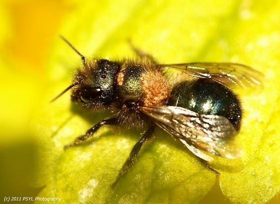 Strange bee - Osmia lignaria