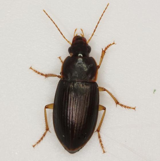 Notiobia sp. - Notiobia - female