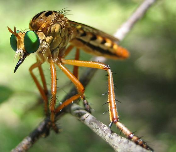 Hanging Thief Robber Fly  - Diogmites esuriens