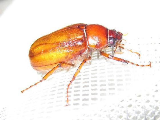 Phyllophaga, species??? - Phyllophaga glaberrima