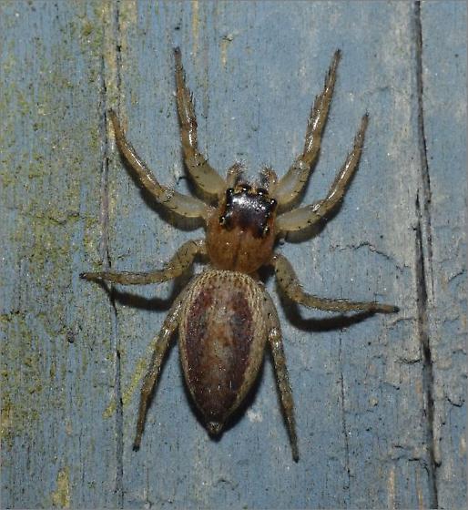 Dimorphic Jumper - Maevia inclemens - female