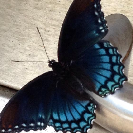 Black and Blue Butterfly - Limenitis arthemis