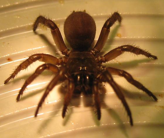 Trap door spider? - Antrodiaetus pacificus - female & Trap door spider? - Antrodiaetus pacificus - BugGuide.Net Pezcame.Com