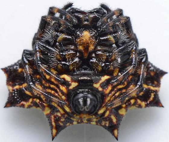 Gasteracantha cancriformis - female