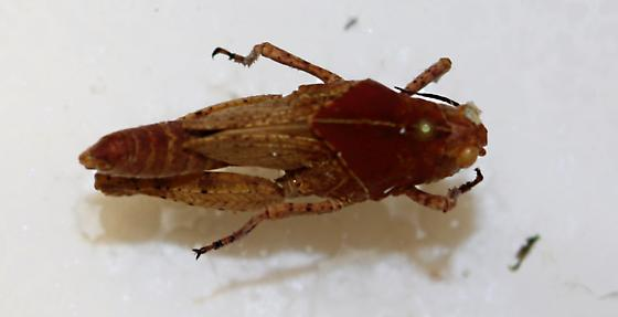 Acrididae... Unknown? - Dissosteira carolina