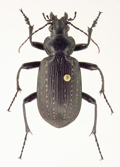 Calosoma sayi - male